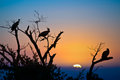Silhouettes Of Vultures In A Tree At Sunset Royalty Free Stock Photos - 57220148