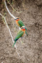 White Fronted Bee Eaters Stock Photos - 57224003