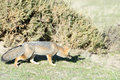 Grey Fox Hunting On The Grass Royalty Free Stock Photos - 57253898