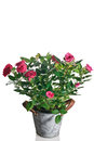 Rose Plant In Pot Stock Photo - 57290610