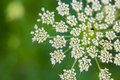 Daucus Carrota Queen Anne S Lace Royalty Free Stock Photography - 57292837