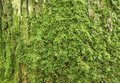 Old Oak Bark With Green Moss Royalty Free Stock Photos - 5736998