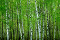 Birch Forest Stock Image - 5737021