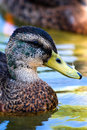 Young Male Mallard Duck Royalty Free Stock Photos - 5738328