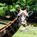Funny Giraffe Stock Photo - 5738940