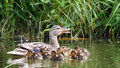 Mother Duck With Her Ducklings Royalty Free Stock Photos - 57351458