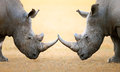 White Rhinoceros  Head To Head Royalty Free Stock Photos - 57360418