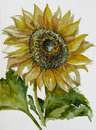 Sunflower Watercolor Stock Image - 57369371