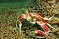 Spotted Porcelain Crab Stock Photo - 57391790