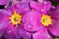 Purple Flowers Royalty Free Stock Photography - 5740227