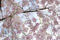 Cherry Blossoms Stock Image - 5741411