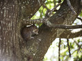 Closeup Of Cute Grey Squirrel Eating Peanut, Sitting On A Tree Branch. Royalty Free Stock Photography - 57418027