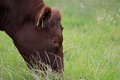 Red Poll Bullock Grazing Stock Photography - 57447582