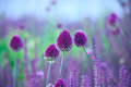 Chive Herb Flowers - Allium Sphaerocephalon On Beautiful  Backgr Stock Image - 57450281