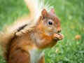 Red Squirrel, Lake District, UK Stock Photography - 57498392