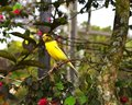 Yellow Canary Bird (Serinus Flaviventris) Perched On Branch. Stock Photos - 57508103