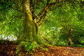 Old Tree In Scottish Forest Royalty Free Stock Image - 57517056