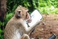 Monkeys Look In A Mirror Royalty Free Stock Images - 57552239