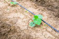 Cucumber Field Growing With Drip Irrigation System. Stock Images - 57557934