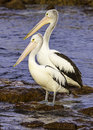Pelicans Royalty Free Stock Image - 57596436