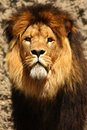 Male Lion Royalty Free Stock Photography - 5760297