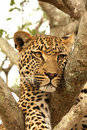 Leopard In A Tree Stock Photography - 5762962
