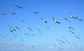 Flock Of Seagulls Flying Stock Images - 57603974