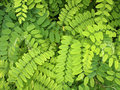 Bright Green Leaves Of Acacia Stock Photography - 57614372