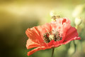 Bee On Poppies Rays Of The Sun Royalty Free Stock Photos - 57631698