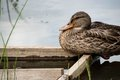 Wild Duck Is Sitting On A Wooden Platform Stock Images - 57632334