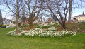 Flower Beds Of White  Daffodils At Greenlake Park Stock Image - 57637181