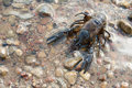 Alive Crayfish Royalty Free Stock Photography - 57651127