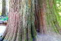 Details, Old Growth Western Redcedar Stock Photography - 57680632