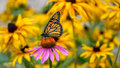 A Monarch Butterfly On A Purple Echinacea Cone Flower Royalty Free Stock Photo - 57685695