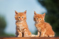 Two Red Maine Coon Kittens Stock Photo - 57706440