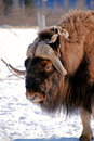 Musk Ox Face Vertical Stock Image - 57713461