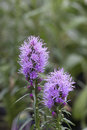 Prairie Gay Feather - Blazing Star Royalty Free Stock Photo - 57723715