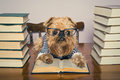 Serious Dog  Reads Books Royalty Free Stock Image - 57738106