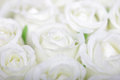 White Roses Background Rose Flowers Flower Wedding Closeup Fresh Isolated Bouquet Luxury Nature Beauty Bunch Cream Bridal Bride Royalty Free Stock Photography - 57756227