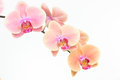 Peach Moth Orchids Close Up Royalty Free Stock Photography - 57820987