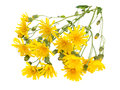 Wild Yellow Hawksbeard Flowers Bouquet Royalty Free Stock Photography - 57825317