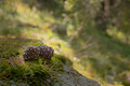 Two Pine Cones On The Forest Moss Stock Images - 57832444