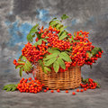 Still Rowan Berries In The Basket. Autumn Concept Royalty Free Stock Image - 57834066