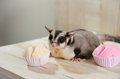 Fat Sugar Glider Eating Muffin Cup Cake Or Cotton-wool Cake, Dessert Thailand. Stock Images - 57854074