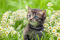 Little Kitten In Flowers Royalty Free Stock Photography - 57855527