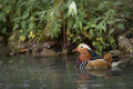 Mandarin Duck Stock Images - 57896324