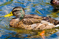 Male Juvenile Mallard Duck Royalty Free Stock Images - 5794869