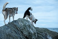 Huskies Dogs Climbing Over The Rocks Royalty Free Stock Image - 57925986