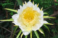 Dragon Fruit Flower On Blooming (hylocereus Cactaceae) Royalty Free Stock Photo - 57940055