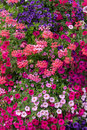 Petunias And Geraniums Stock Image - 57986061